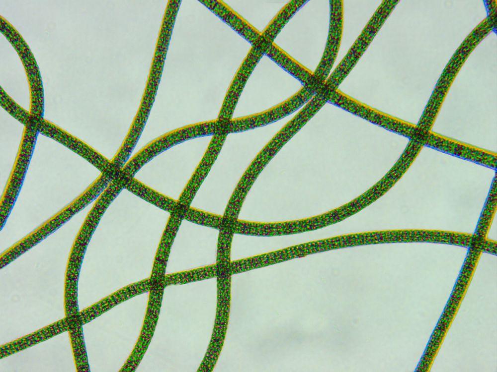 spiruline-oma-olivier-microalgues-profil-nutritionnel-microscope-2