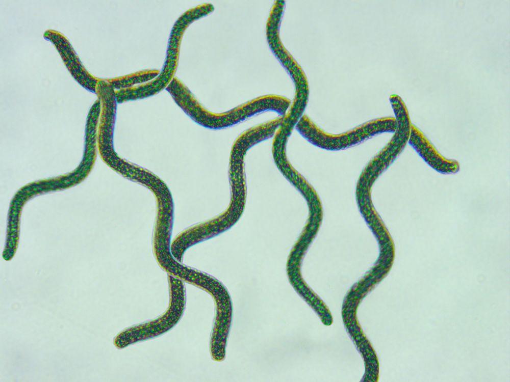 spiruline-oma-olivier-microalgues-profil-nutritionnel-microscope-4