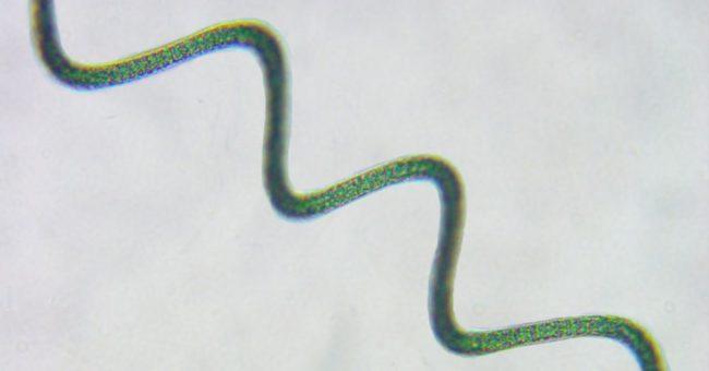 spiruline-oma-olivier-microalgues-profil-nutritionnel-microscope