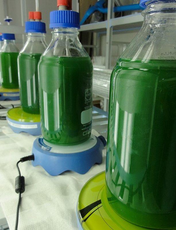 production-spiruline-culture-bouteilles